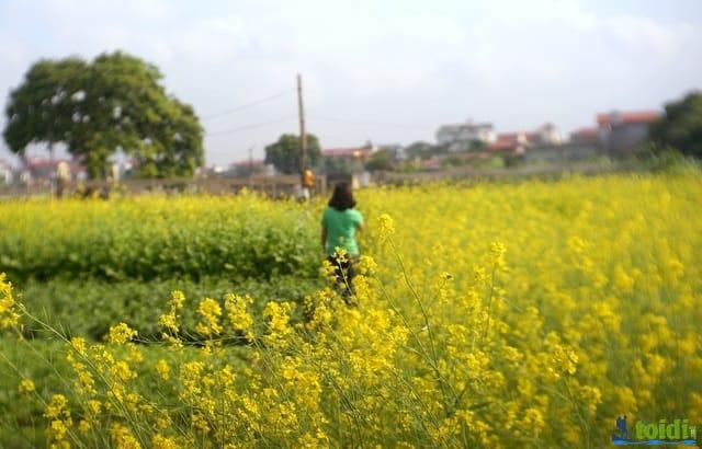Điểm chụp ảnh hoa cải ở Hà Nội