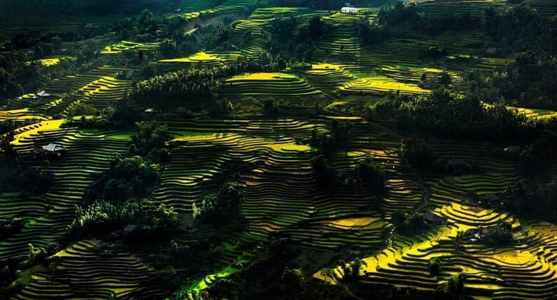 lúa tại Hoàng Su Phì