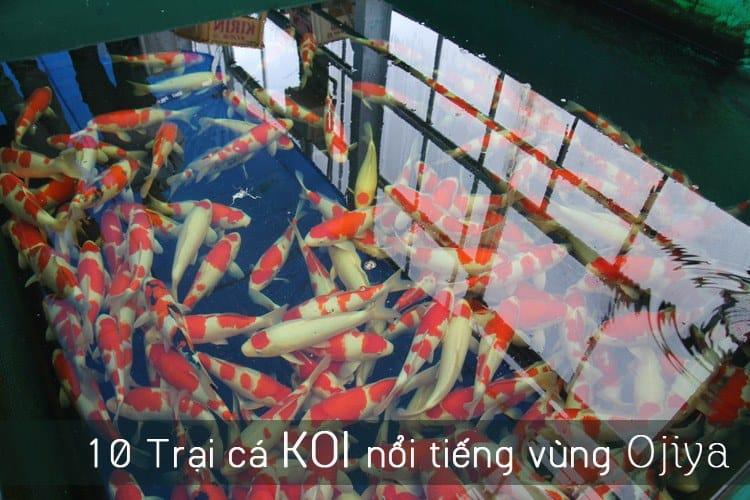 trang trại cá koi