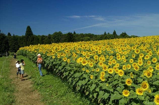 hoa hướng dương nhật bản