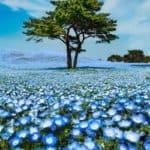 Team Nhật Bản Mùa Hoa Tử Đẳng – Chi Anh – Nemophilia